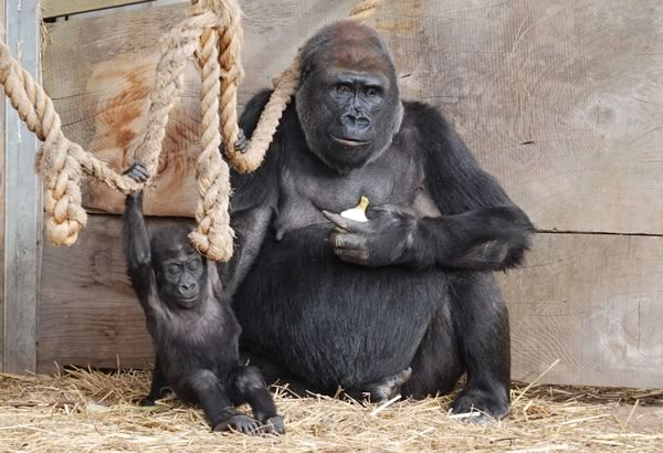 Two Gorillas at Bristol Zoo